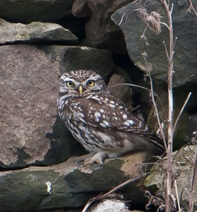 Little owl on wall