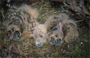 Short-eared owl pulli