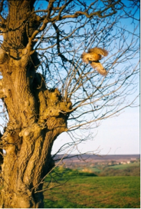 Tawny Owl flying away from tree