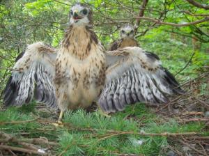 Young buzzard on nest