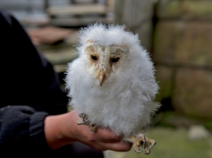 Barn owl chick ready for ringing