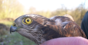 Adult Sparrowhawk in the hand