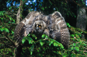 Long-eared owl chick threat display