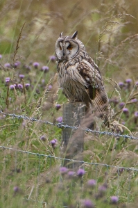 Long-eared owl on post